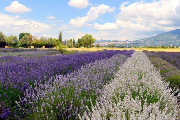 Festa della Lavanda di Assisi @ IL Lavandeto di Assisi - 18-Giugno https://www.evensi.it/festa-della-lavanda-di-assisi-il-lavandeto-di-assisi/168876933