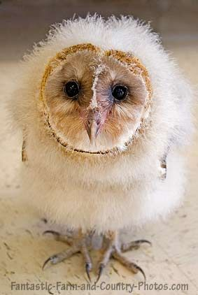 It's hard to make baby barn owls look cute... excellent job!