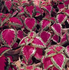 NGB 2015 Year of the Coleus: Color Pride Coleus is a brilliant rose bordered with green and red. Seed available at hpsseed.com
