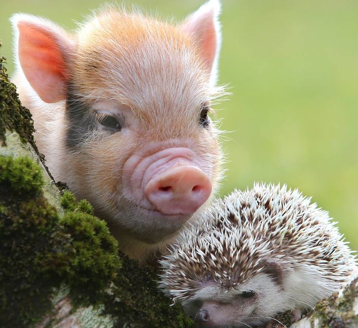 603 best images about Pretty pigs! on Pinterest | Happy ...