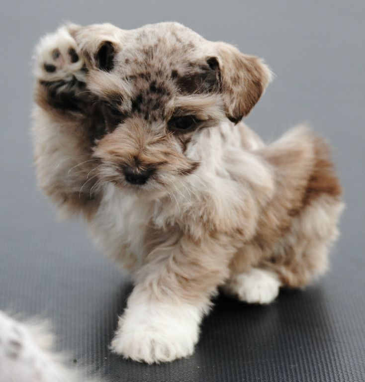 Merle Schnauzer Puppies Colorado   Miniature Schnauzer Puppies