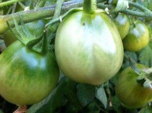 Ripening green tomatoes.