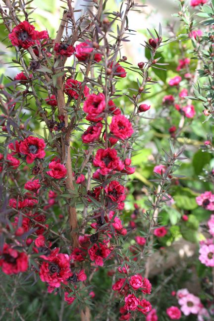 Leptospermum scoparium Tea Tree Hardy to Zone 9, drought tolerant once established and is said to be deer resistant