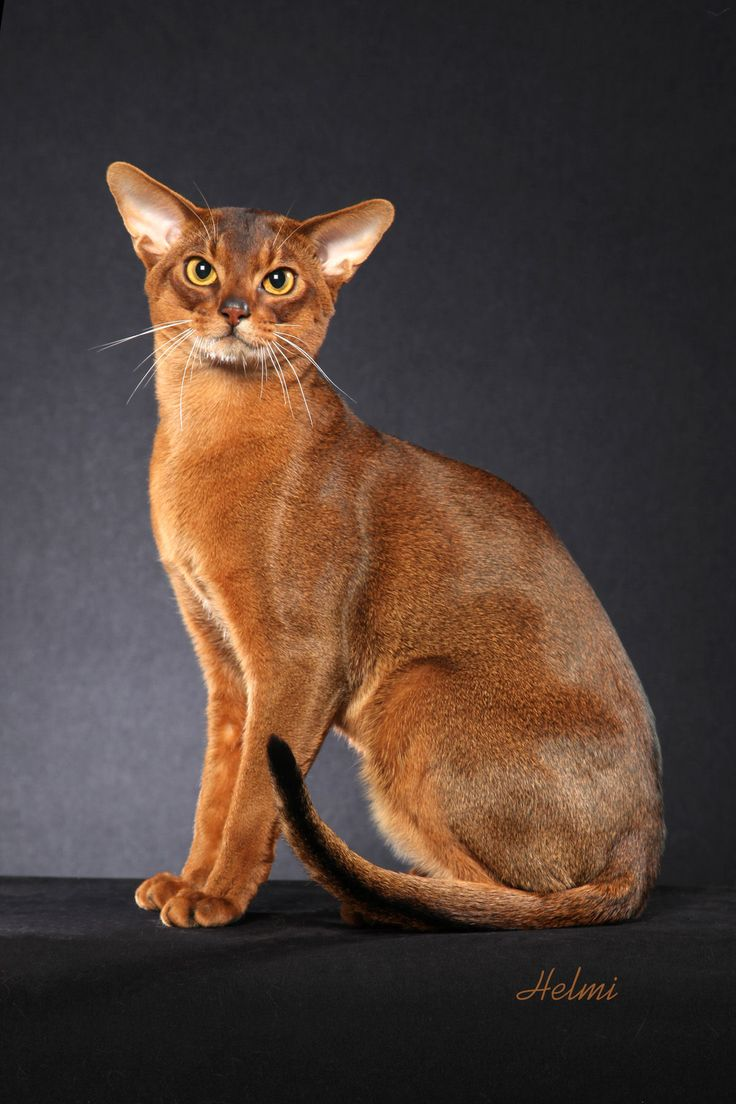 Abyssinian cat for sale nj