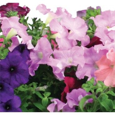 This Is The Seed Pod Kit Named Cascading Petunias These Always Flourish In My Aero Garden Seed Kit Petunias Seed Pods