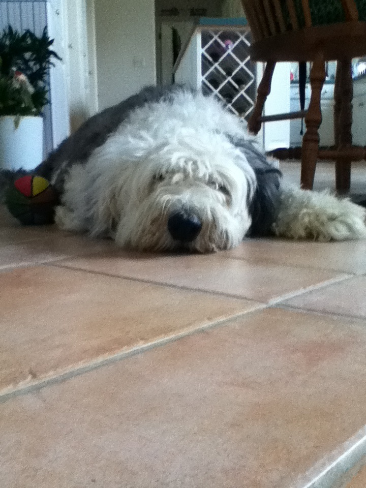 This is Seymour he is an Old English Sheep dog.