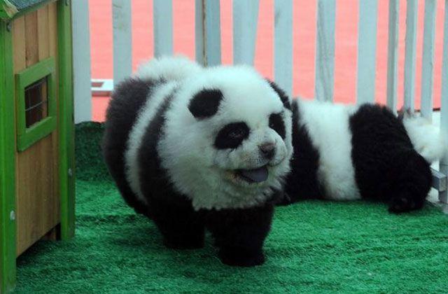 perro-panda-foto