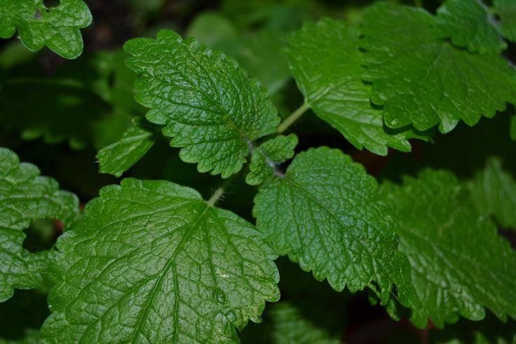 Erva-cidreira . Propriedades benefícios e usos Melisa officinalis . Cole...