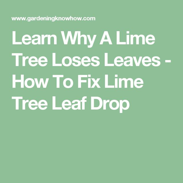 Learn Why A Lime Tree Loses Leaves - How To Fix Lime Tree Leaf Drop