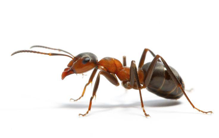 formiche disinfestazione L'Igienica