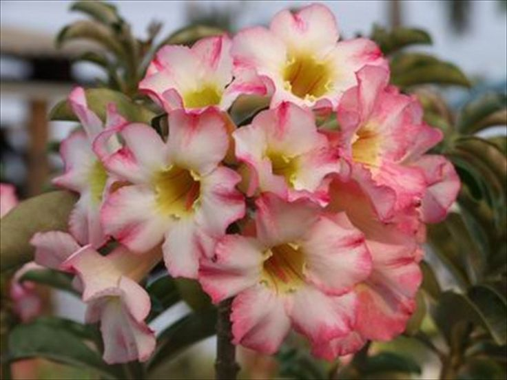 Golden Girl Adenium Obessum /Desert Rose