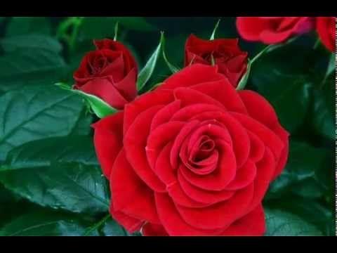Kırmızı Güllerin Açış Anı! Muhteşem   Her Gün Yeni Bir Bilgi