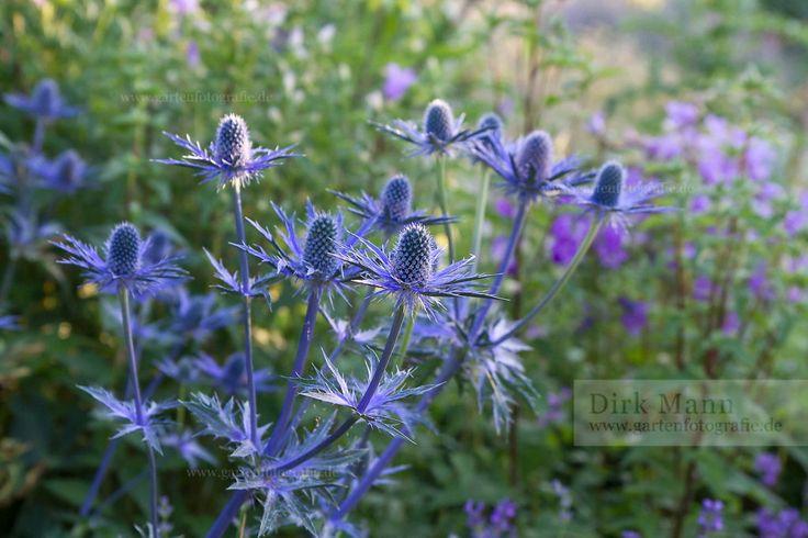 Foto: Zabel's-Edeldistel (Eryngium x zabelii 'Big Blue')