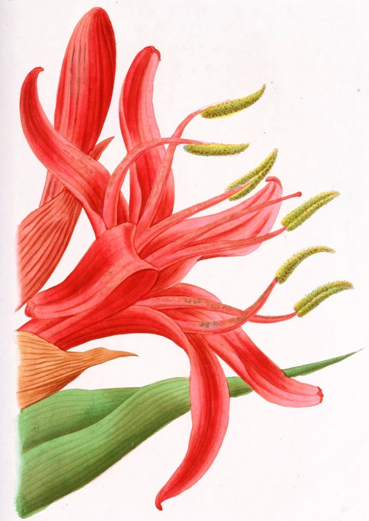 An image of a Gymea Lily from the famous botanical artist Édouard Maubert (Calais 1806 – Paris 1879)