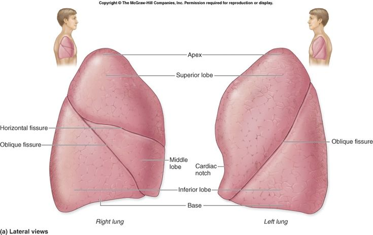 Lung anatomy (lung lobe anatomy ) this image shows the anatomy of ...