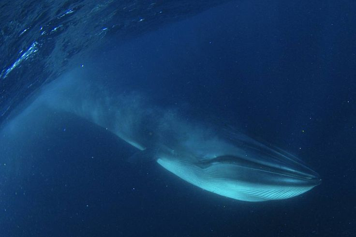 national watch custommade drone captures adult calf brydes whale feeding