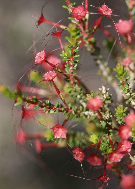 Wildflower - Western Australia