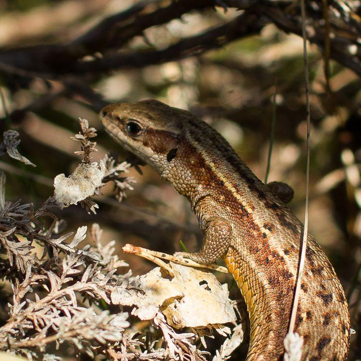 Norsk firfisle /lizard