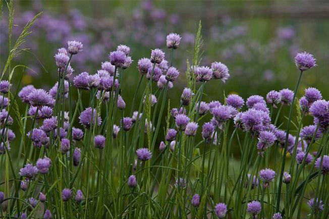 Au potager, dans un massif ornemental, en pot sur un balcon ou un rebord de fenêtre, la ciboulette est une plante essentielle du jardinier. Facile à cultiver, elle est une amie de jardin et permet de protéger les plantes naturellement.(c) Biosphoto / M. GuntherQui est elle?La ciboulette, de son nom latin Allium schoenoprasum, fait partie de la famille des alliacées. Originaire d'Orient, cette plante aromatique a été très utilisée dans l'Antiquité et en Asie. Elle est largement reconnue pour…