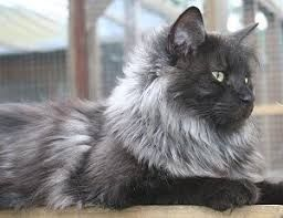 Image result for grey and white kittens
