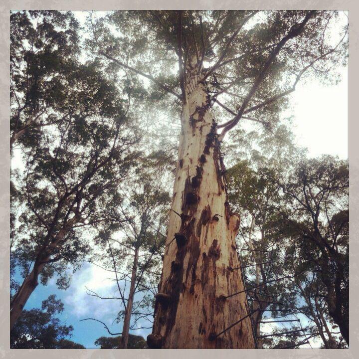 LIVING MY BUCKET LIST: Diamond Tree | Pembarton area WA #spendlifeliving www.facebook.com/howtoSpendLifeLiving!! Photos taken by Jasmine Phillips