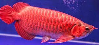 Ikan Arwana,ikan patin liar,Pakan untuk Arwana,rahasia umpan,Umpan Ikan Arwana,umpan ikan bandeng,umpan ikan baung,umpan ikan bawal,umpan ikan gabus,umpan ikan lele,umpan ikan mujair,umpan ikan nila,