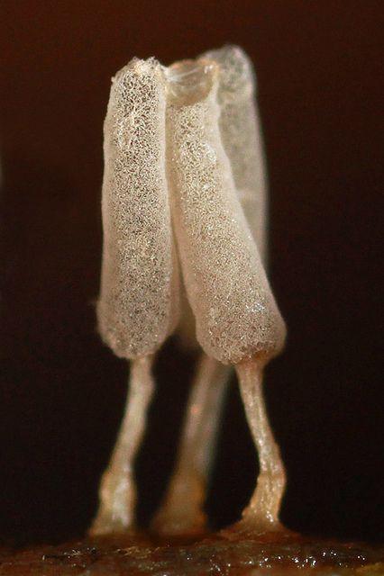 **Arcyria--slime mold