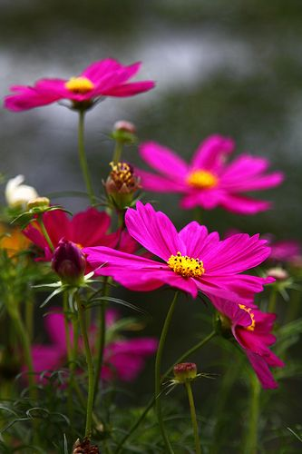 Pink cosmos---annual-easy to grow. Great cut flower.