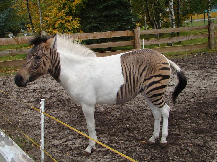 Eclyse; zebroid mare; bay (?; with zebra stripes) tobiano