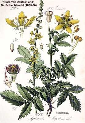 Agrimony is perhaps best known as a wound herb used on medieval battlefields to staunch bleeding. 2Agrimony is most used in modern herbal practice as a mild astringent and a tonic, the tannins it contains tone the mucus membranes making it is useful for alleviating the symptoms of coughs, bronchitis and asthma. The herbal tea can be used as a skin wash, it is thought to improve minor injuries and chronic skin conditions.