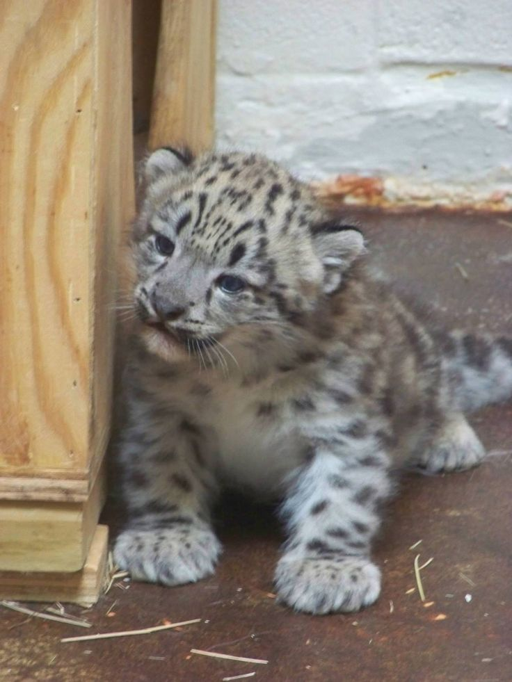 First Snow Leopard in Over a Decade at Memphis... - ZooBorns