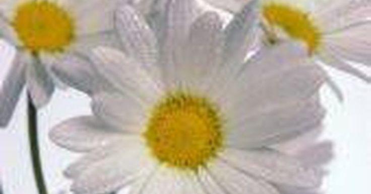 ¿Cómo se reproducen las margaritas?. Las margaritas son plantas que florecen. El nombre científico de la flor es Leucanthemum vulgare. También se conocen como margaritas blancas, margarita del campo, y en ocasiones margarza. Son consideradas como un símbolo de la paciencia. El origen de la margarita proviene de Asia y Europa. Sin embargo, se ven en todo el mundo, desde África hasta ...