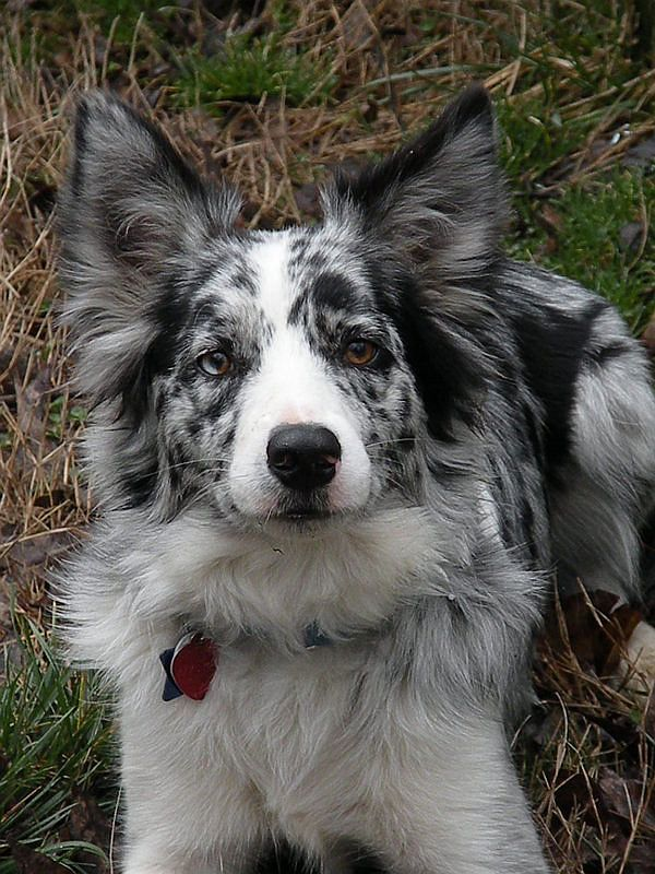 Border collie! This is what my little Coop will look like when he grows up :D