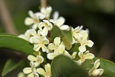 Sweet smelling Tea Olive Shrub... best smell in the whole world.  Everyone should have a Sweet Tea Olive Tree or Shrub in their yard.