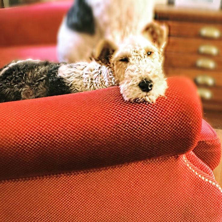 488 besten Foxterrier Bilder auf Pinterest   Hunde, Haustiere und ...
