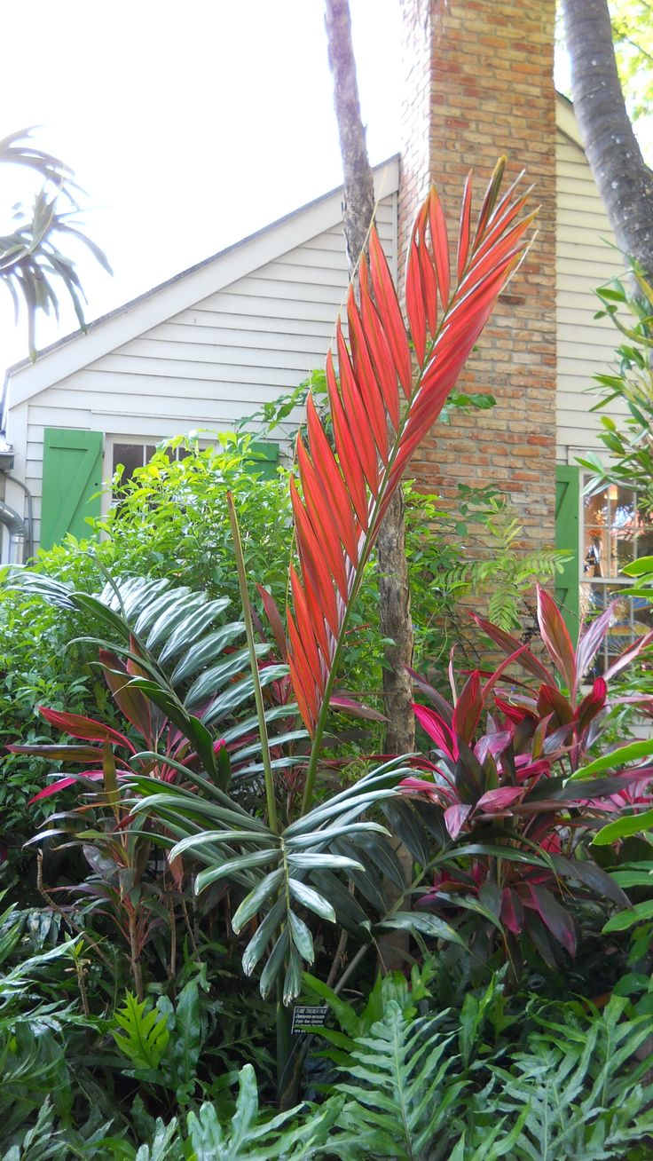 Flame thrower Palm at the Audubon House and Tropical Gardens
