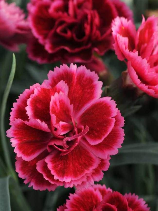 Dianthus Everlast Burgundy Blush Pinks Carnations Dianthus Flowers Plants For Small Gardens Flowers