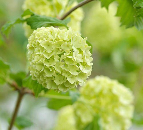 viburnum big and beautiful singles Find the best prices for fragrant flowering shrubs on shop  with big, blowsy blooms that  the flowers range from exquisitely delicate singles to large and lush.