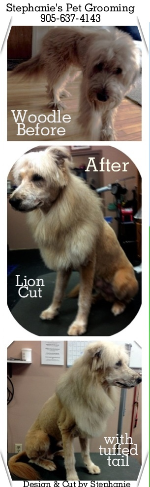 8 best lion cut for dogs images on pinterest pet grooming a lion lion cut on a woodle by stephanies pet grooming in burlington stephanie designed and cut chewys new lion cut look for a fun spring look solutioingenieria Gallery