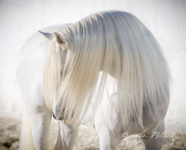 Absolutely beautiful long white mane on the dreamy white horse.
