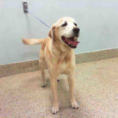 """10 YR OLD YELLOW LAB DUMPED BY """"FAMILY"""" TODAY💔💔The holidays are a happy time for most...except for the dogs of Miami. More dogs are dumped by their owners this time of year than any other time...and this is when we meet the most handsome boy SARGE! Look at how SARGE #A0887943 was wagging his tail and smiling in this photo, not knowing that his owners had just abandoned him at the very same place they adopted him from as a baby. What is it about the holidays that makes so many people in…"""