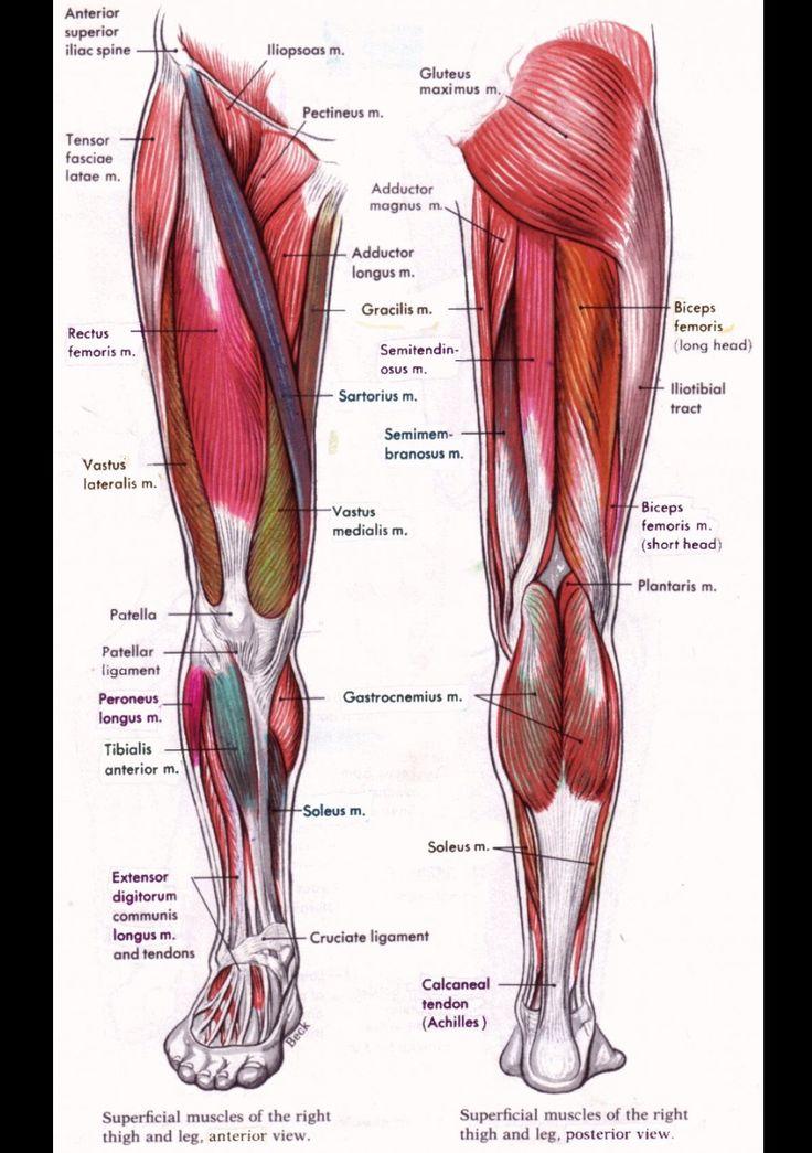 31 best reflejo images on Pinterest   Anatomía muscular, Dolor en ...
