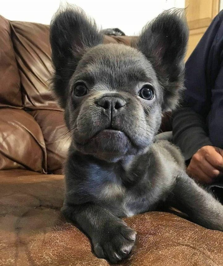 Wolf Or Frenchie Dog Dogs Puppy Pup Cute Instagood