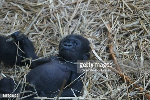 Close-Up Of baby Chimpanzees Lying On Grass