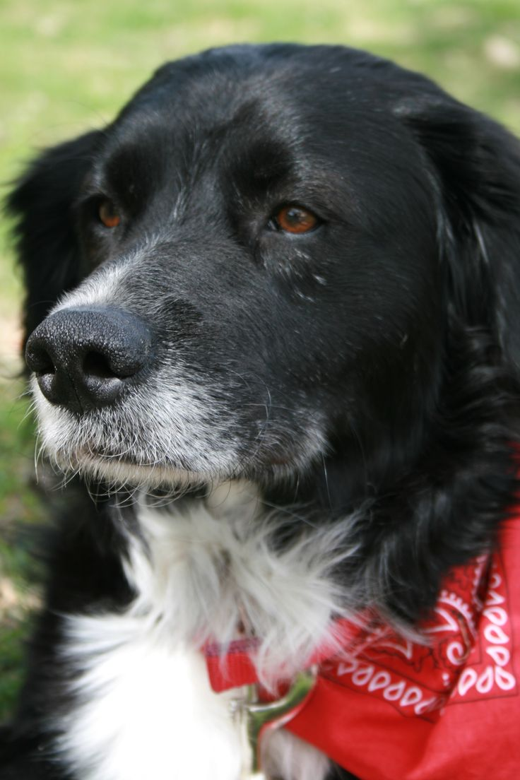 25+ bästa idéerna om Border collie lab mix på Pinterest ...