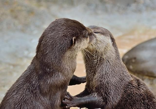 Oh how sweet!!  Kissing otters