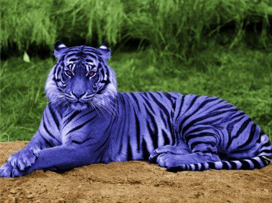 Blue Maltese Tiger Picture