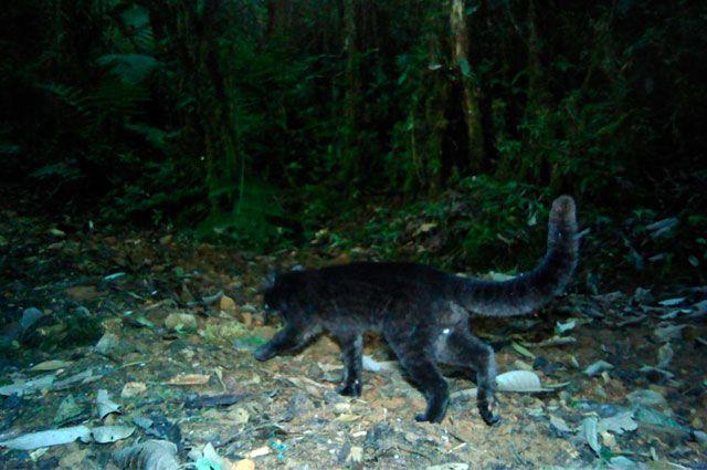 Descubren en Valle especie de felino nunca antes vista en Colombia -➜