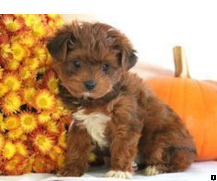 Want To Know More About Pug Dog Price Follow The Link To Find Out More Enjoy The Website Yorkie Poo Yorkie Poo Puppies Puppies For Sale
