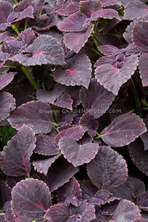 Foliage plant hairy light purple